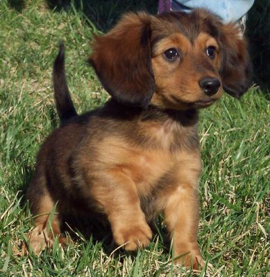 long hair daschund. Long Haired Mini Doxie Male Images