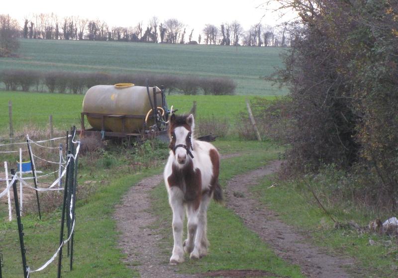 Godmanchester Pony