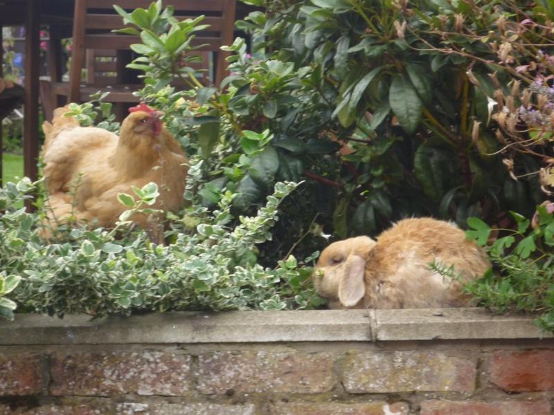 Orpington and Rabbit