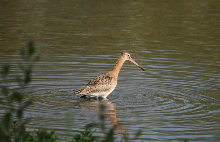 Blact Tailed Godwit