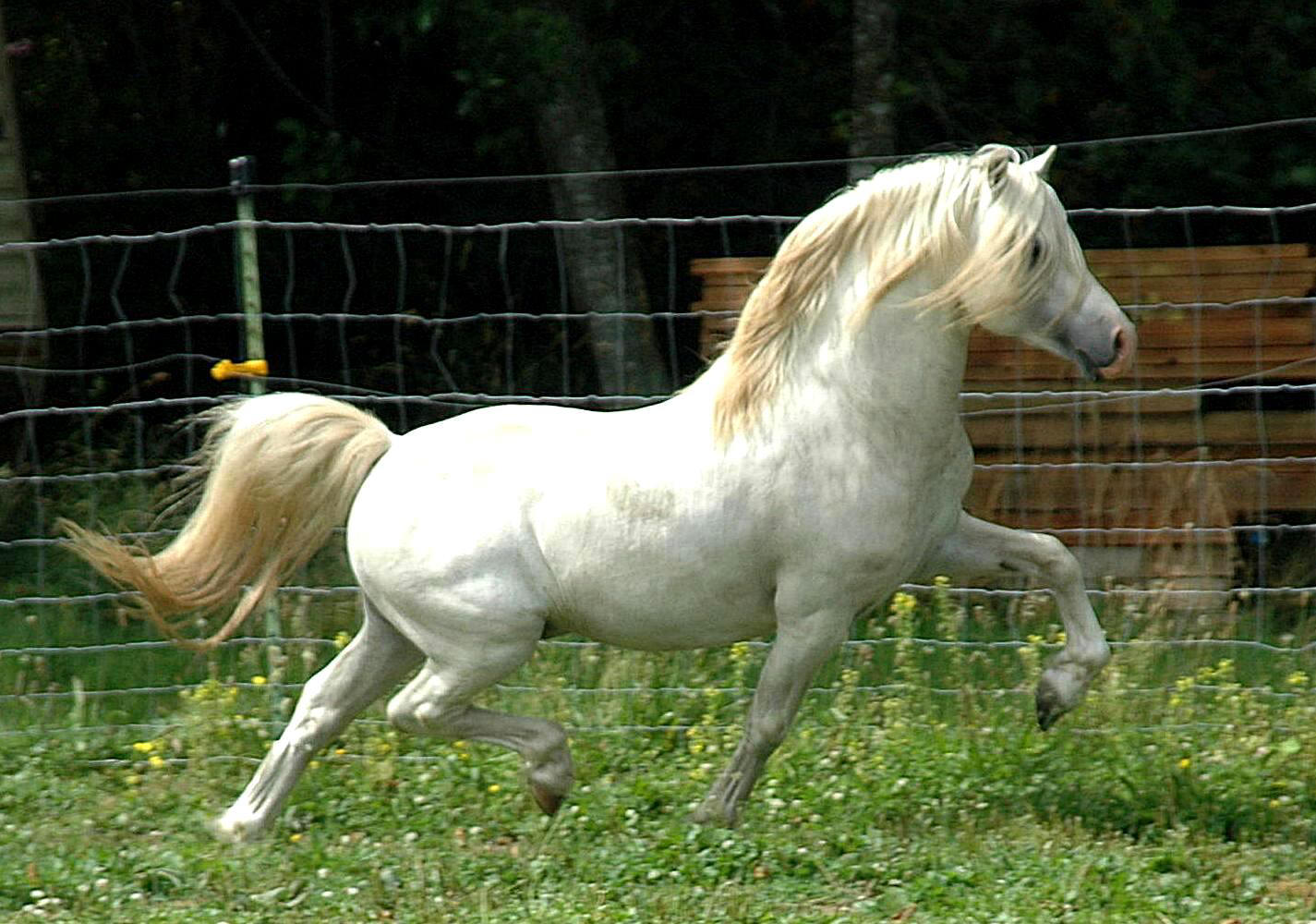 practical horse genetics the grey coat colour in horses. Black Bedroom Furniture Sets. Home Design Ideas