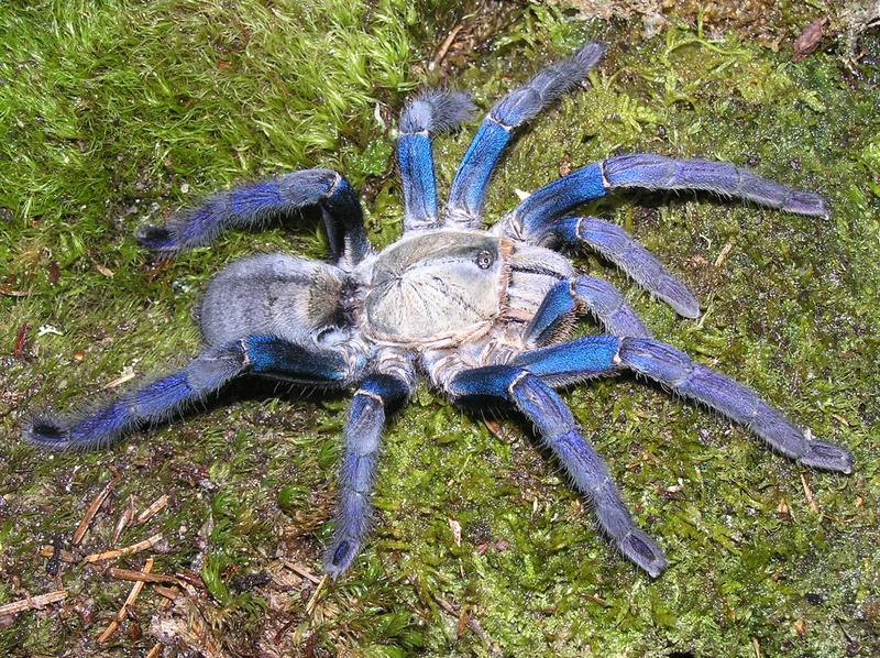Tarântula azul cobalto- ( Haplopelma lividum) P1290379