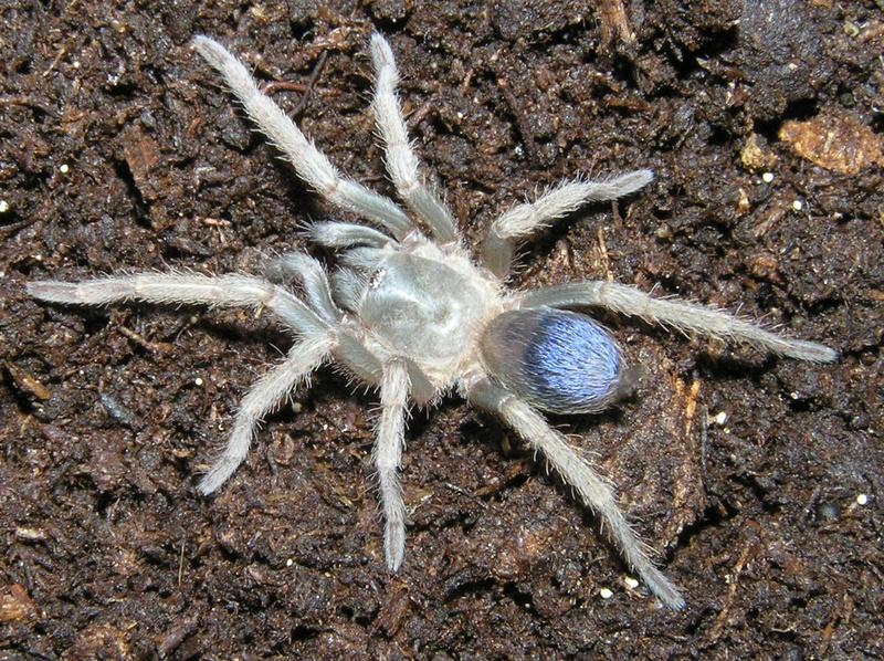 "Pseudhapalopus sp. ""blue"""
