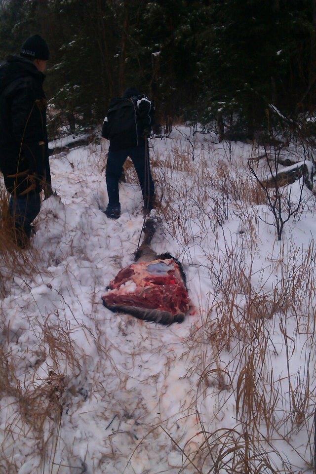 me hauling moose meat 2