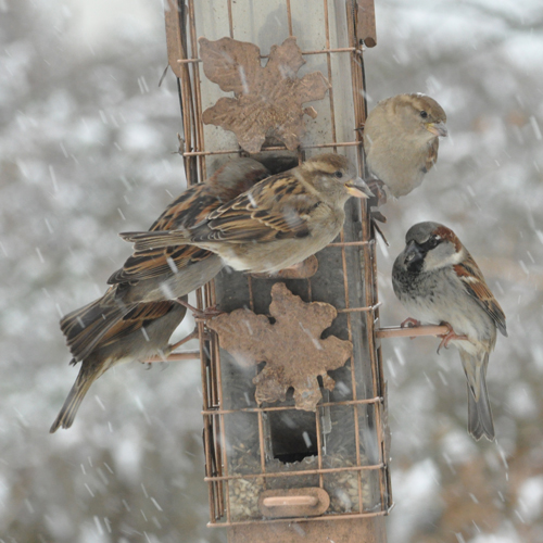 A gathering of sparrows...