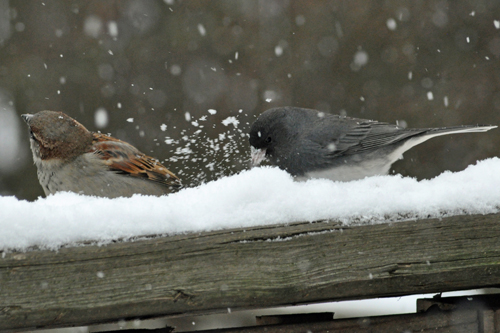 Sparrow and Junco... playing in the snow...
