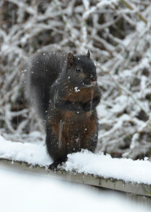 Black Squirrel on the deck rail...
