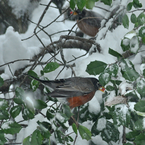 Robins in holly... dining on berries...