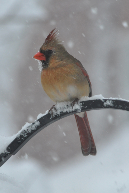 Mama Cardinal in snow... ENOUGH!