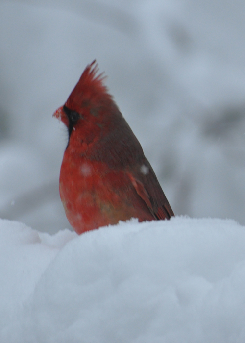 Another Cardinal in snow shot...