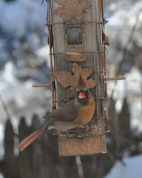 Mama Cardinal... WHAT? Are you taking my picture again?