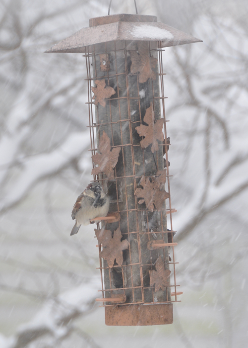 Lonely Sparrow at the feeder...