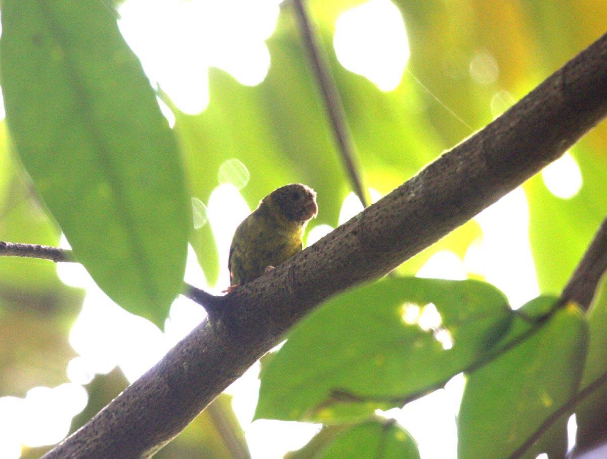 Meek's Pygmy-Parrot