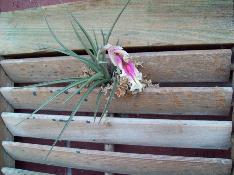 unknown air plant