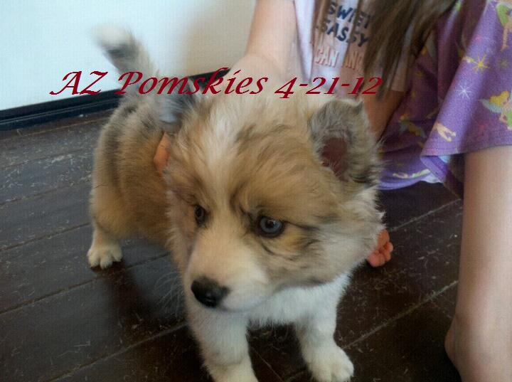 Site for pomsky puppies for sale | Pomsky Puppies for Sale