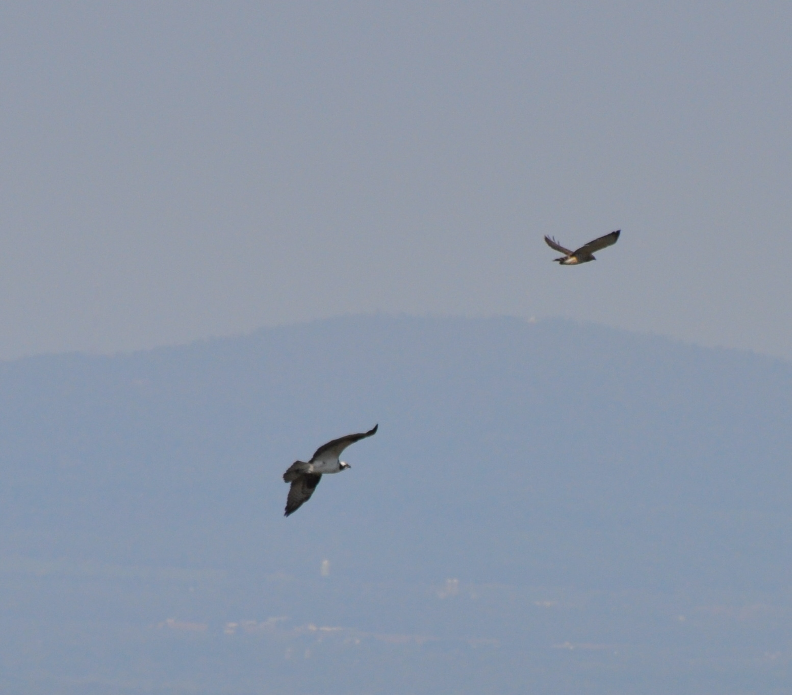 Osprey and Broad-wing