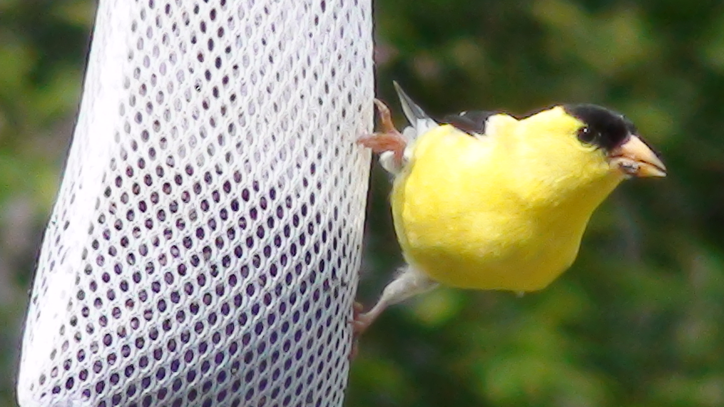 A Yellow Finch at Our Feeder