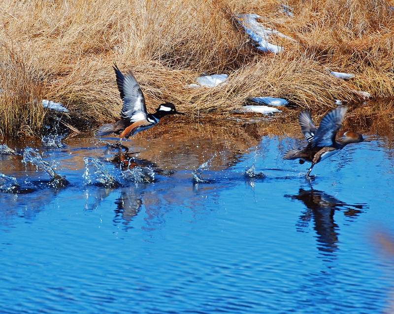 Mergansers spooked