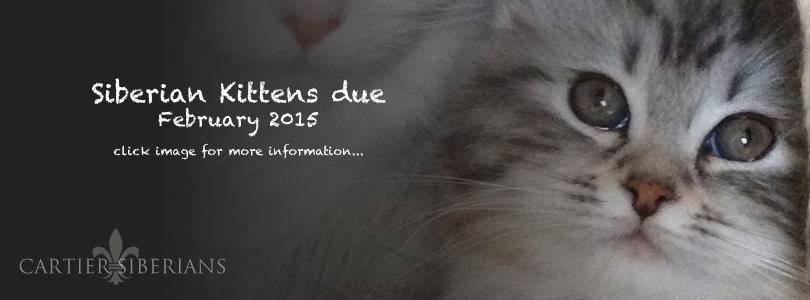 Siberian Kittens Due