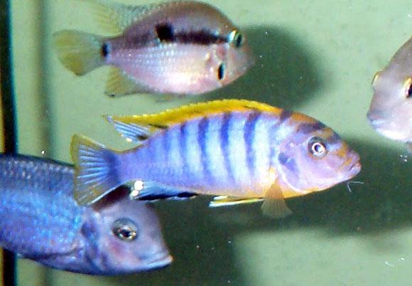 Labidochromis sp. 'mbamba bay'