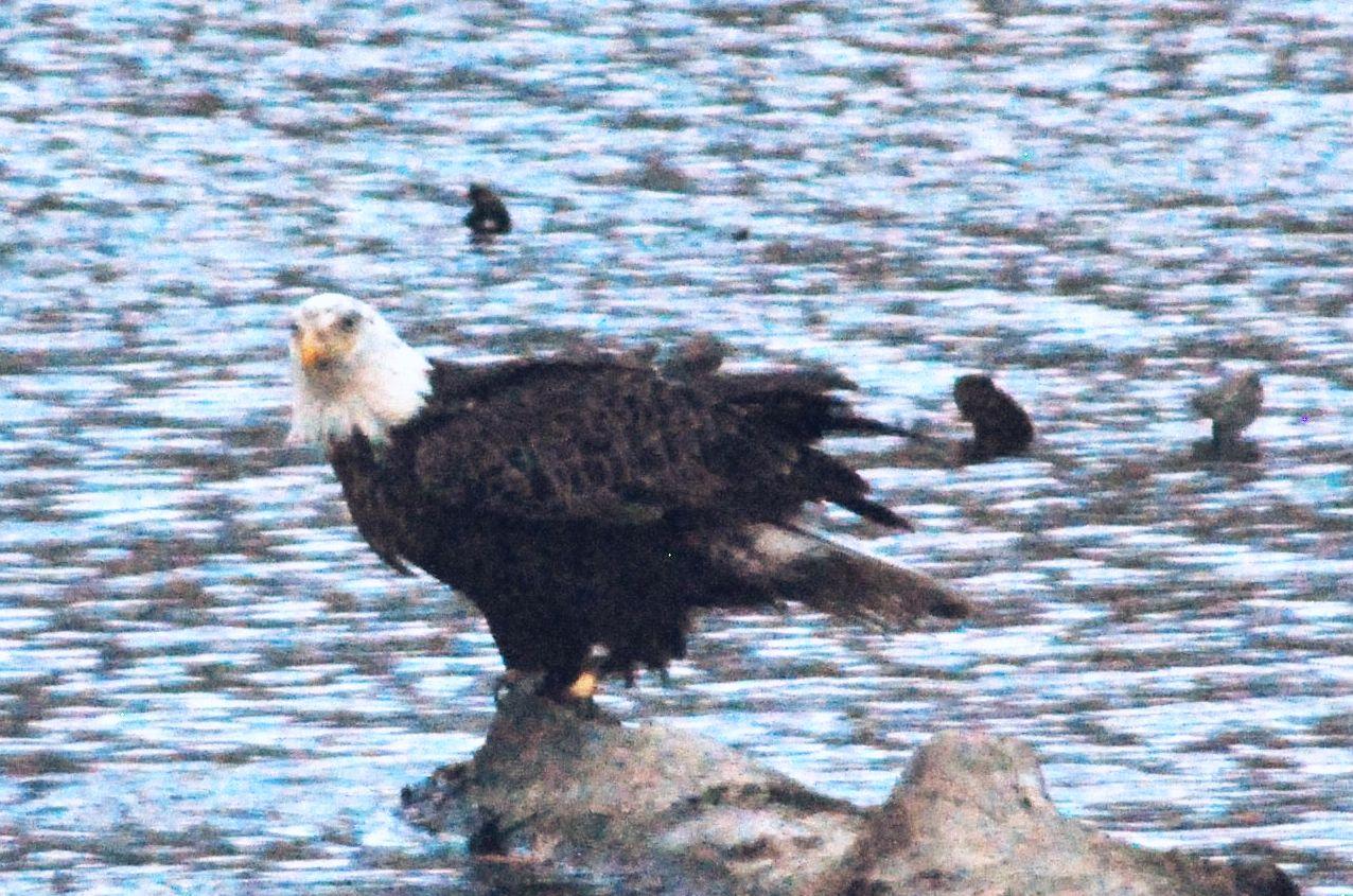 Eagle after sunset