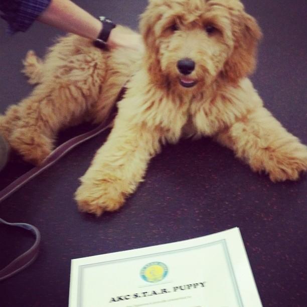 AKC Star Pup