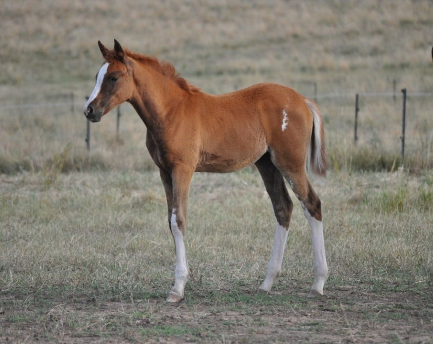 Pure Crabbet chestnut filly