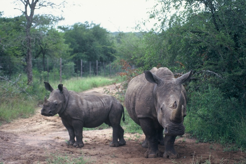 White Rhino and Calf at Mkhaya
