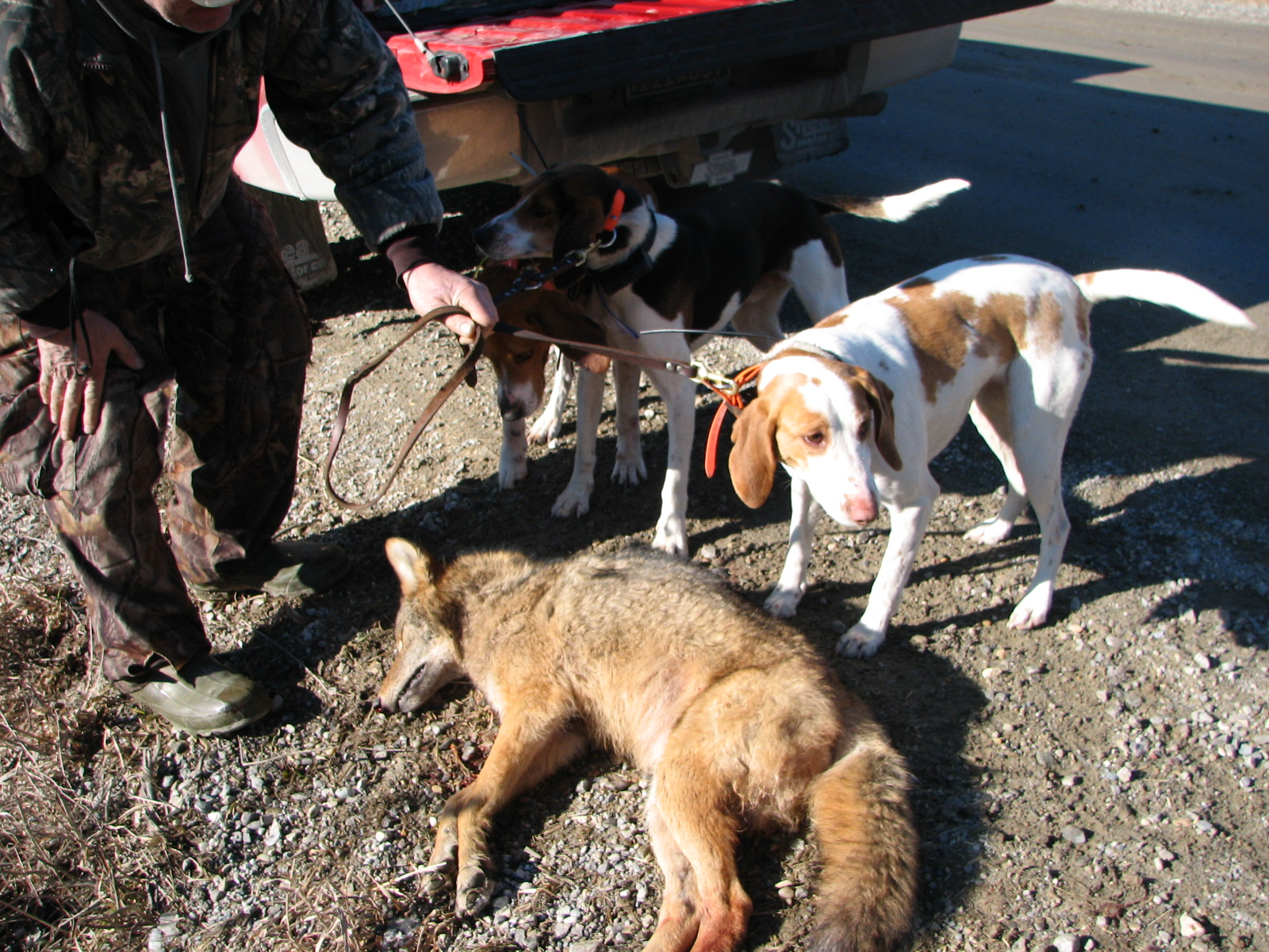 Coyote Hunting Dogs Sale