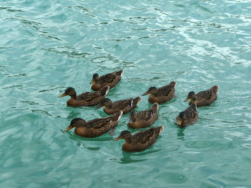 Kokkari ducks