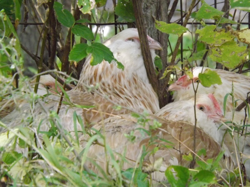 Pullets hiding in the bushes