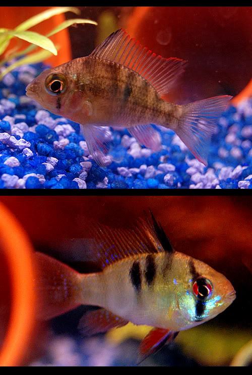 Red Male Bolivian Ram (Top)