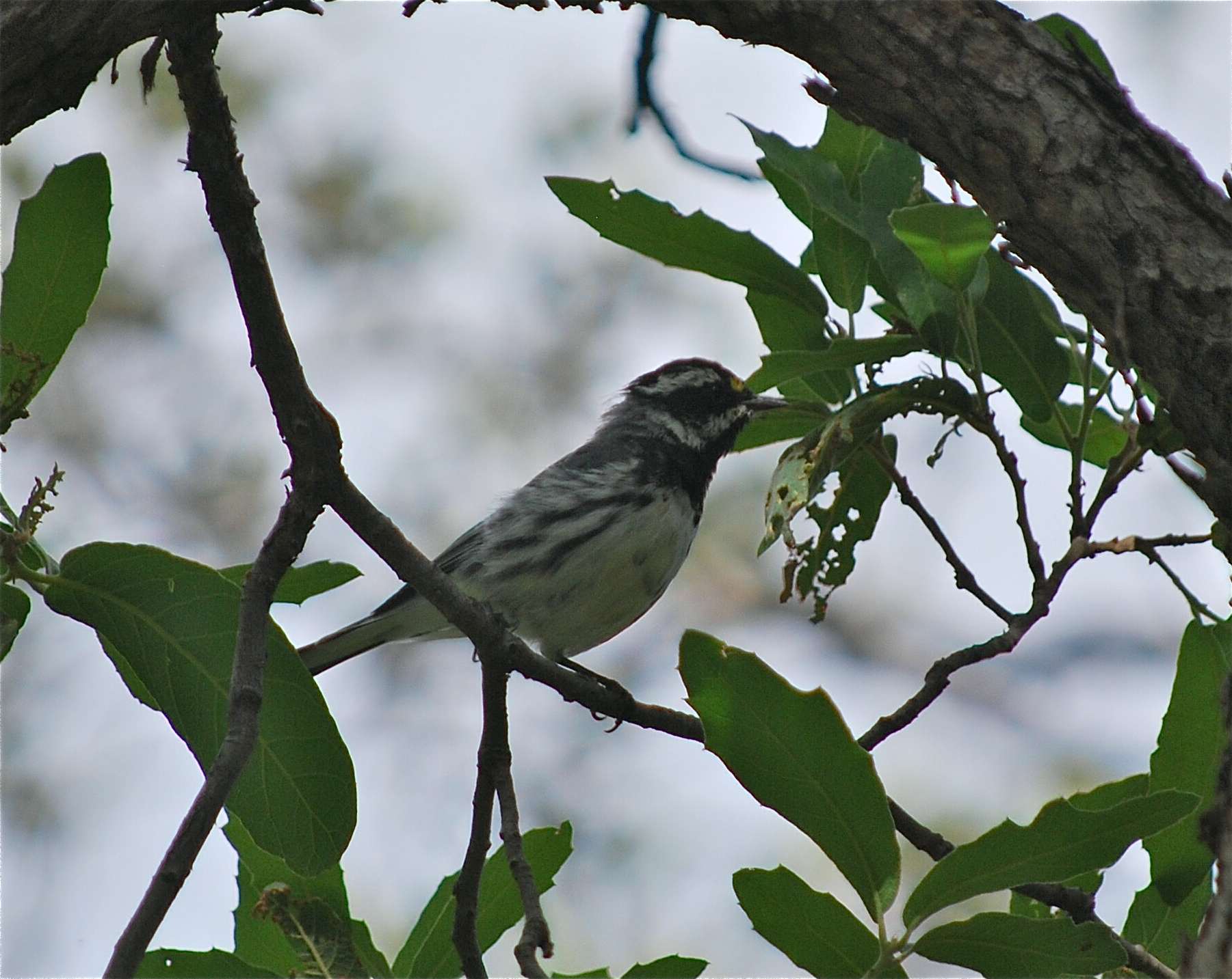 Black-throated Gray Warbler