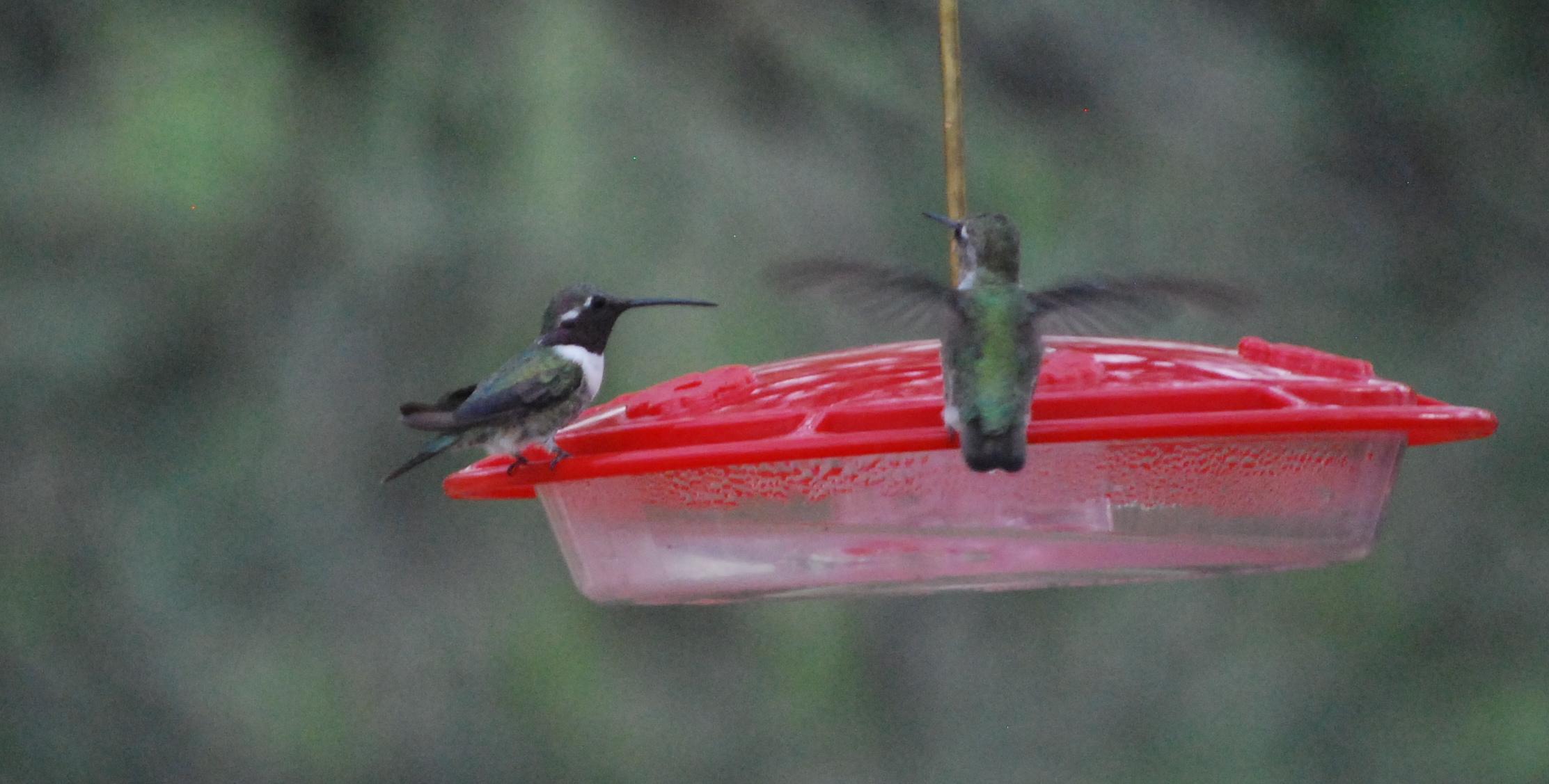 Lucifer Hummingbird