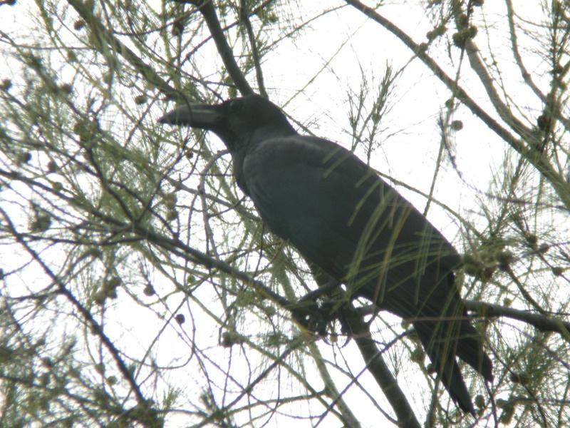 Southern Jungle Crow/Gagak Paruh Besar