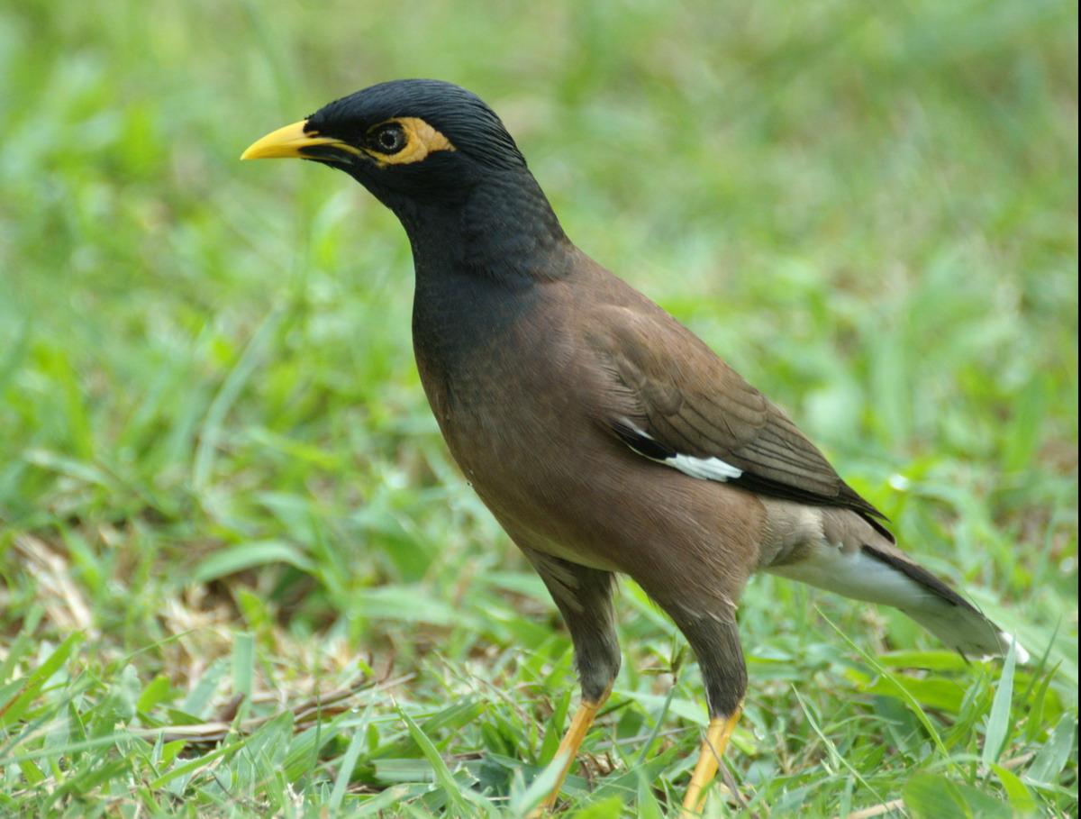 http://memberfiles.freewebs.com/72/20/58342072/photos/Mynas-and-Starlings/-Tiong-dan-Perling/Common_myna.jpg