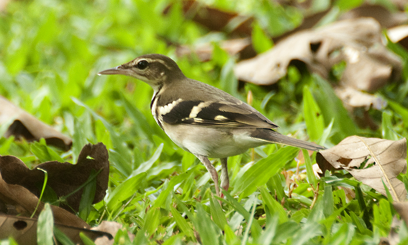 Forest Wagtail/ Pipit Rimba