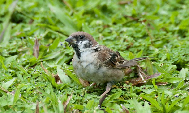 Eurasian Tree Sparrow/ Ciak Rumah