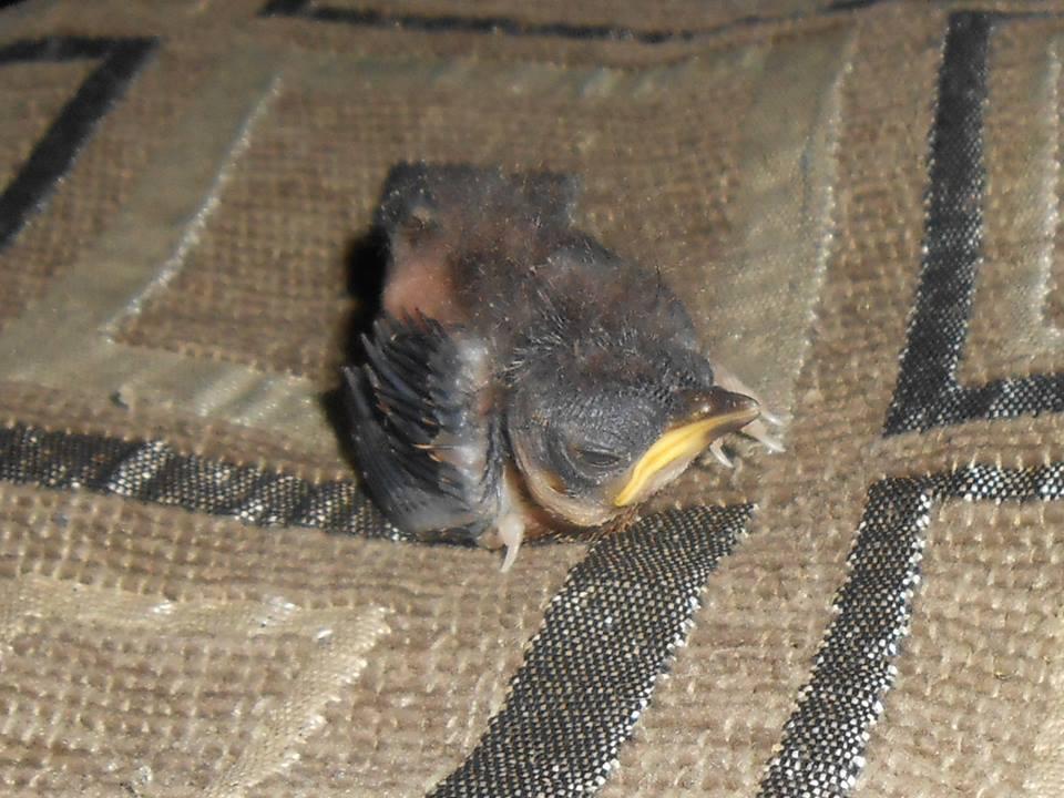 Baby Wren