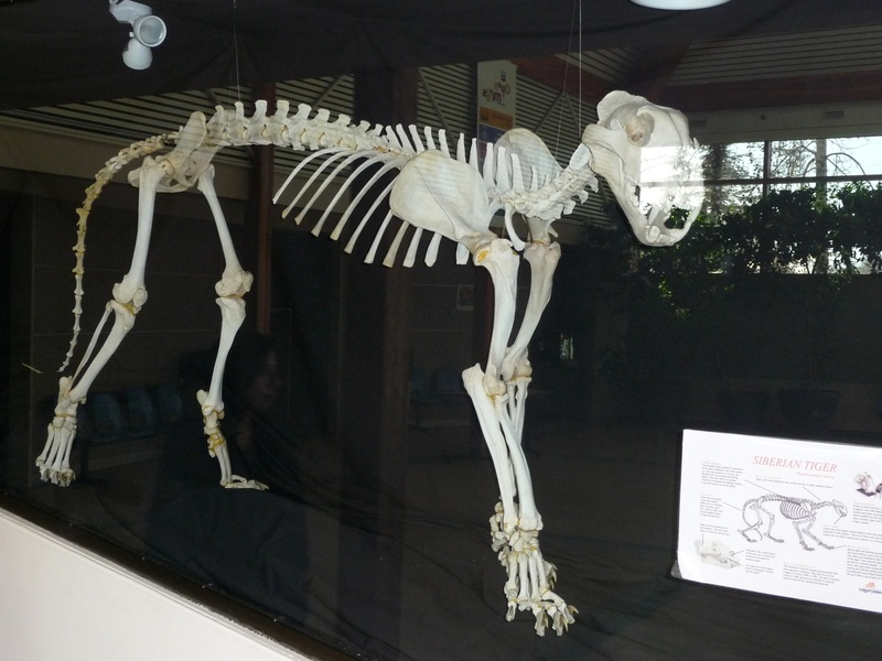 Tiger Skeleton Pictures Tiger Skeleton
