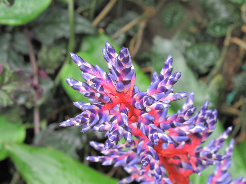 unknown plant, Wisley.