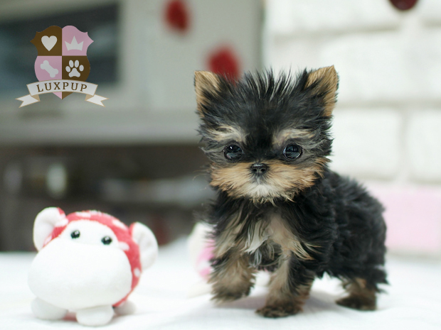 Male Yorkshire Terrier - Leo