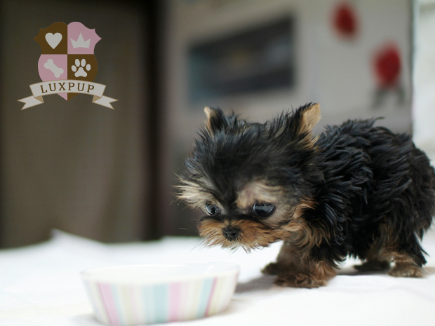 Male Yorkshire Terrier - Kash (hold)