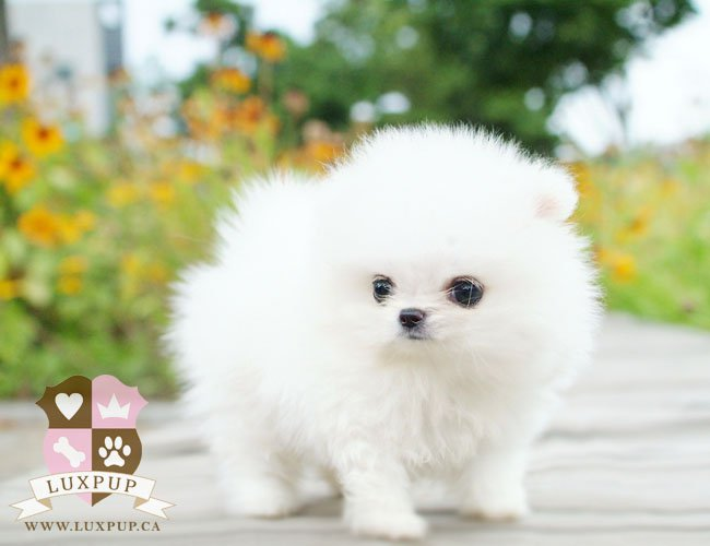 White Pom Female