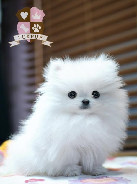 Pomeranian white full grown - photo#3