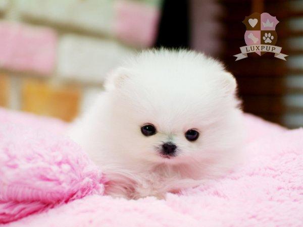 Female Pomeranian