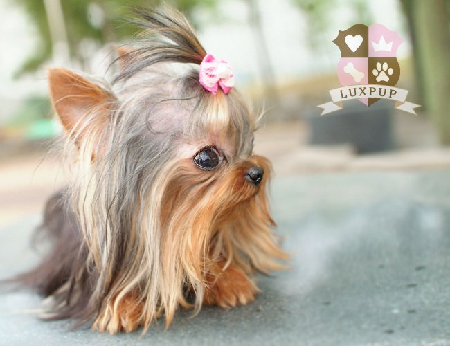 Fantastic Teacup Yorkie Haircuts