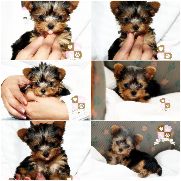 Yorkshire Terrier - Monkey