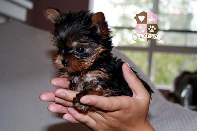 Yorkshire Terrier - TinkerBell