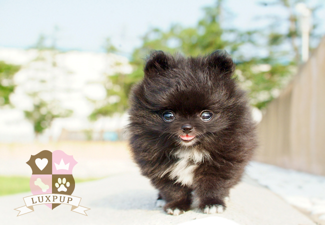 Black/White Male Pom